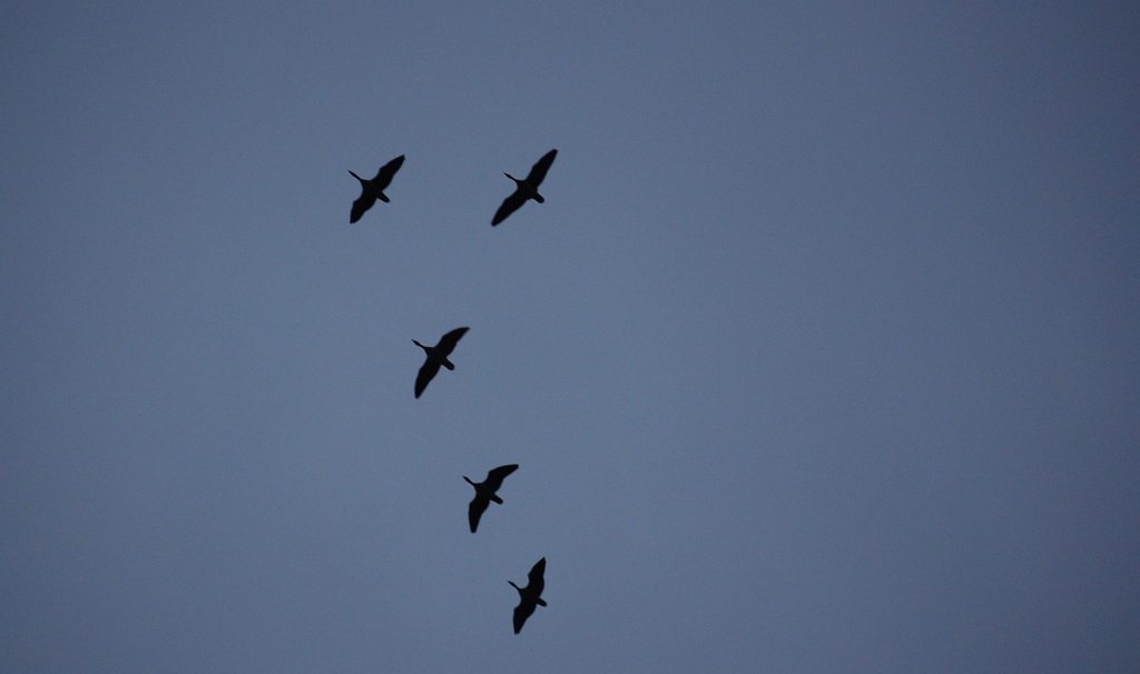 Migrating geese in silhouette